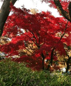 飛鳥山公園・紅葉