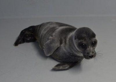 サンシャイン水族館・バイカルアザラシの赤ちゃん一般公開
