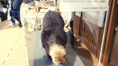 サンシャイン水族館「カワウソWEEK+」ラッコの剥製