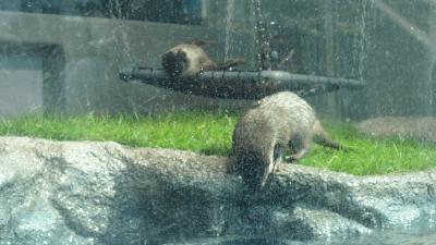 サンシャイン水族館「カワウソWEEK+」カワウソたちの水辺