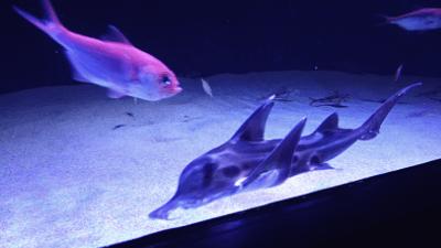 サンシャイン水族館・ゾウギンザメ