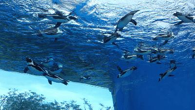 サンシャイン水族館・天空のペンギン・ダイビングタイム