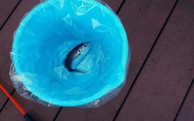 うみファーム・釣り上げた魚(アジ)
